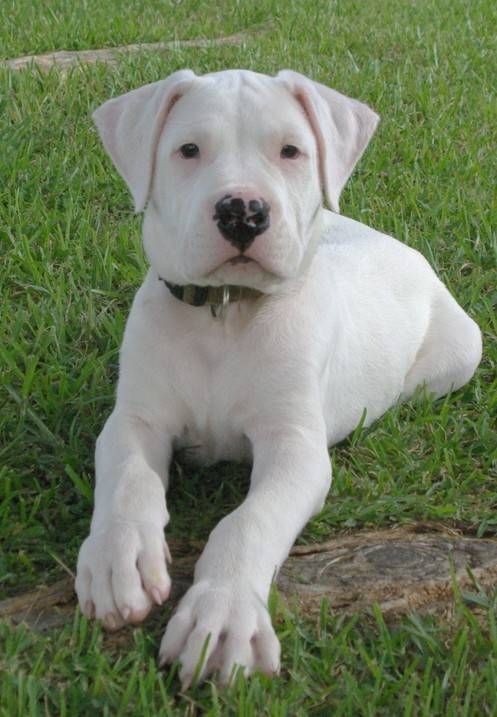 751 best dogo argentino images on Pinterest | Dog breeds ...