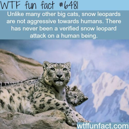 Snow Leopards - WTF fun facts