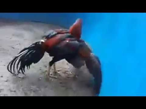 Super speed Rooster fighting 14