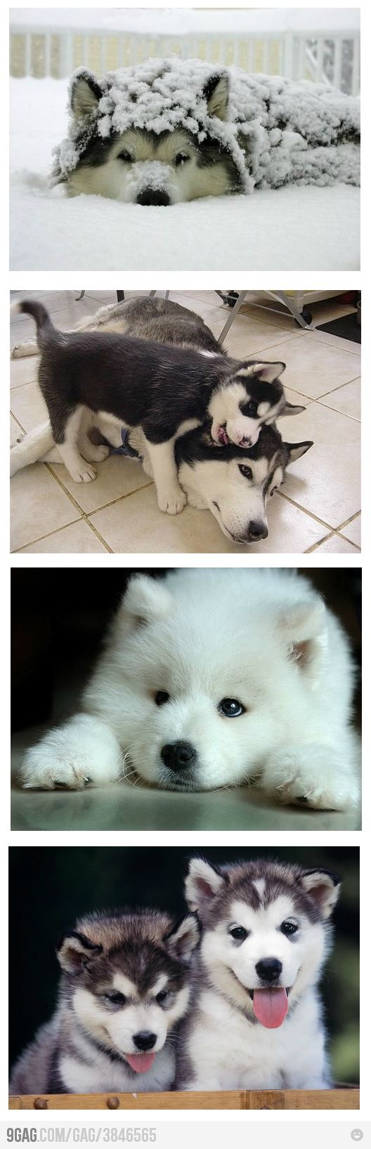 huskies=the best animals.