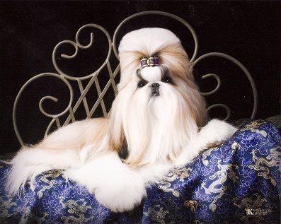 Intuition Shih Tzu offers the best shih tzu puppies for sale, dog breeder, AKC Registered shih tzu dogs, Champion in St Louis, Springfield, Missouri.