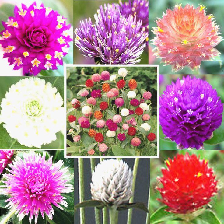 Flower Gomphrena-Globe Amaranth-Best Sustainable Annual Flower Finest- 40 Seeds