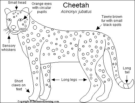 cheetah facts for kids printable | Cheetahs ( Acinonyx jubatus ) are the fastest land animal. These long ...