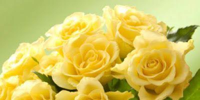 kembang biru: Mawar Kuning
