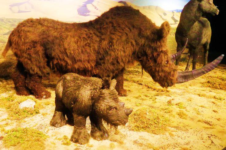 De wolharige neushoorn kwam oorspronkelijk uit het noorden van Eurazië. Hij kwam op meer plaatsen voor dan enige andere neushoorn die ooit geleefd heeft. Zijn dikke bruine vacht beschermde hem tegen de kou. Hij had twee hoorns, de voorste kon wel een meter lang worden. Deze diende als wapen en als sneeuwschuiver tijdens het zoeken naar voedsel. De wolharige neushoorn was een planteneter die vooral korstmossen en grassen at. Hij leek op de tegenwoordige witte neushoorn.