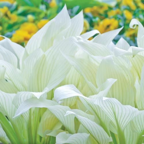 White Feather Hosta - plant in full shade and watch it light up your garden. Growth habits are listed on the post - via Brecks