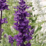 If you are looking for beautiful plants for your garden that don't need full sun, try this list of purple and blue spring perennials for part shade.