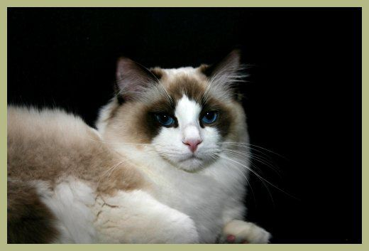 Ragdoll Cat Breeder Ragdoll Cats for Sale Riterag Ragdolls the Champion of all Ragdoll Cats!