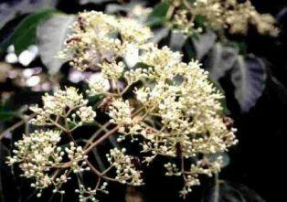 Euodia hupehensis (richtig auch: Evodia  und Tetradium )  deutsch: Bienenbaum oder Wohlduftraute, Duftesche, Bee-Bee Tree