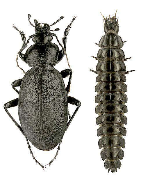 Carabus (Procrustes) coriaceus coriaceus Linnaeus, 1758 - imago & larva (Carabidae)
