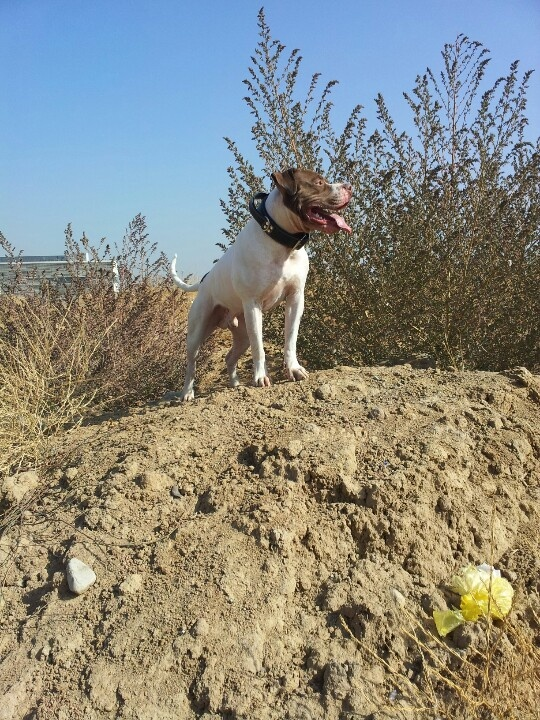Seamus looking for a bully girl to build the next generation of apbt xxl