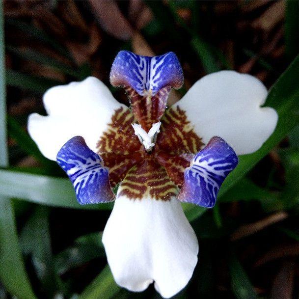 Free shipping Neomarica gracilis Flower seeds - 50PCS Walking Iris Flowers…