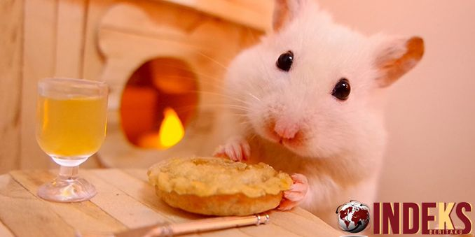 Berita hari ini adalahCara PeliharaHamster Untuk Pemula. Selain kelinci, hamster juga merupakan salah satu hewan lucu yang dapat anda jadikan alternatif