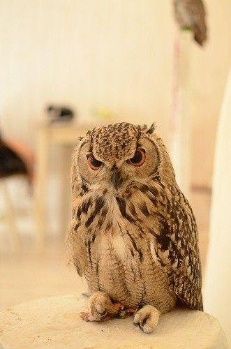 ふくろうカフェ:Owl Cafe