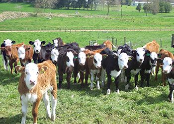 Dairy Beef Integration Programme calves sired by Hereford Ezicalve bulls