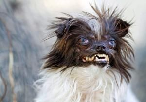 2014 World's Ugliest Dog Contest: Peanut - 2014 World's Ugliest Dog Contest