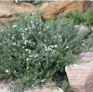 Westringia fruticosa 'WES05'   A hardy ground cover suitable for all Australian climates.  Pretty white flowers from S...