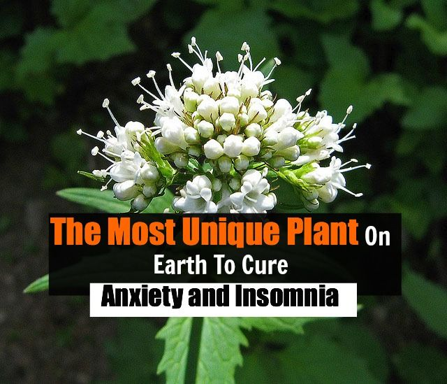 Valerian Is The Most Unique Plant On Earth To Cure Anxiety And Insomnia