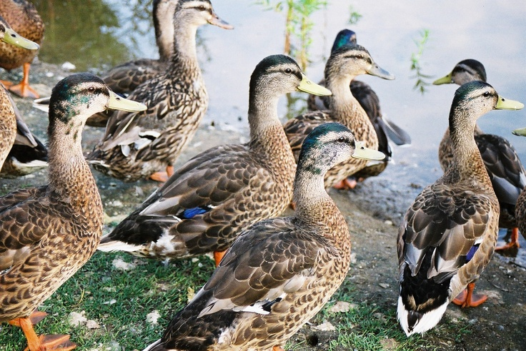 lake chipican, sarnia ont. duck, duck....no goose  Denise Fehr https://www.facebook.c... check me out on facebook