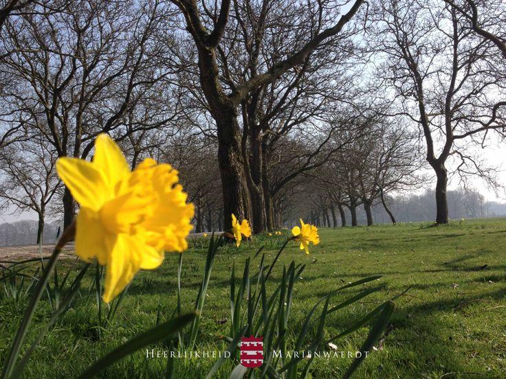 In het voorjaar kleurt de Notenlaan geel door tientallen narcissen, geplant door de medewerkers van het landgoed ter ere van het 50-jarig huwelijk van de baron en barones. www.marienwaerdt.nl