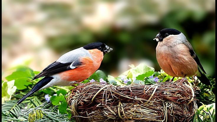Bird Song Uk Bullfinch Bullfinch Song Bird Bird