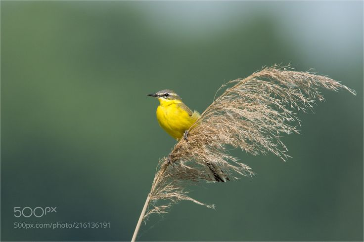 Western Yellow Wagtail / Schafstelze (Christina Mayer / Berlin / Germany) #NIKON D7200 #animals #photo #nature