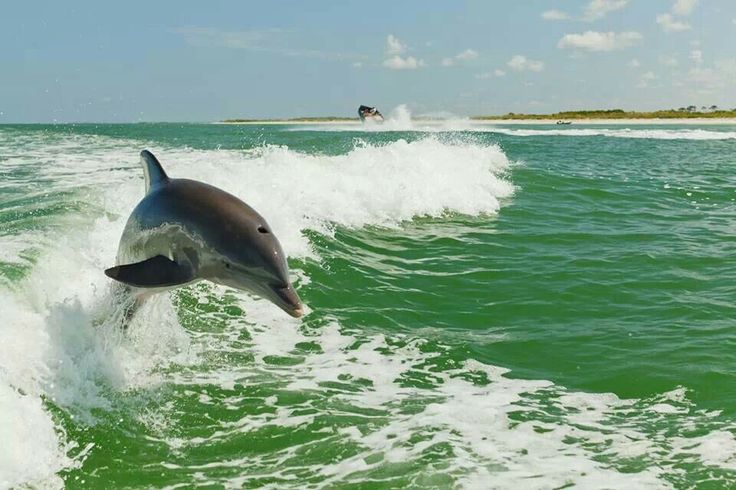 Dolphins,  Clearwater Beach Florida