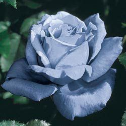 Rose Plants - Blue Girl Hybrid Tea Rose