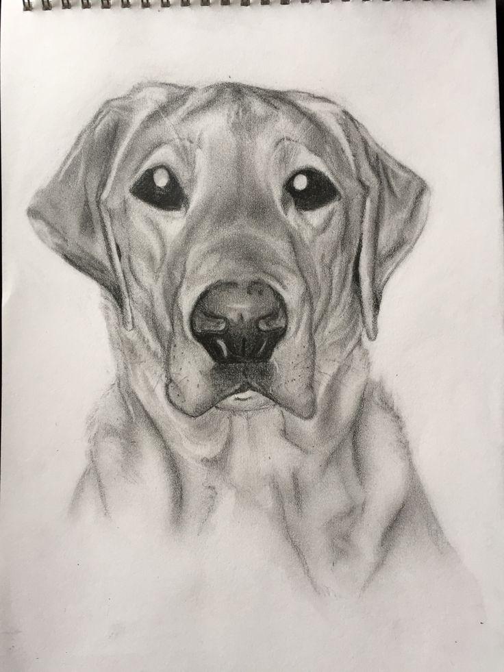 Dexter - an ex guide dog puppy