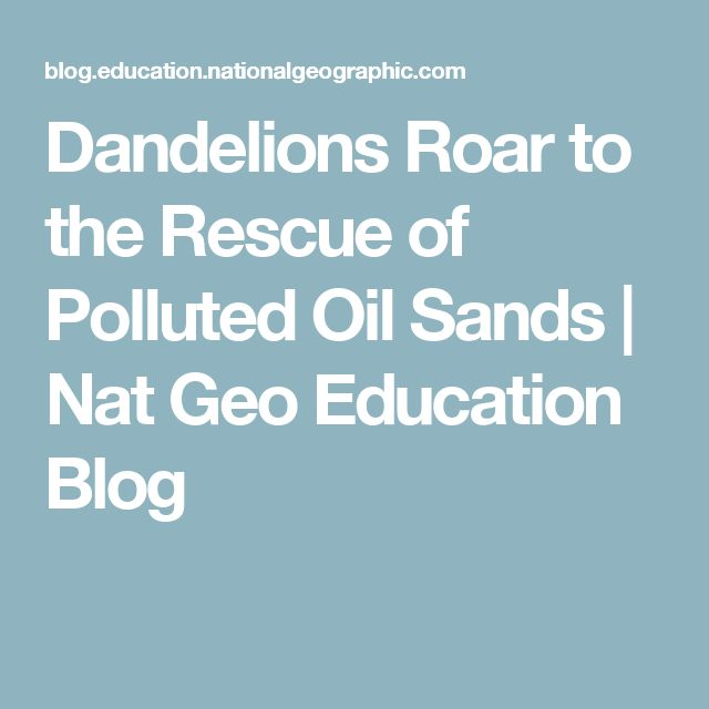 Dandelions Roar to the Rescue of Polluted Oil Sands | Nat Geo Education Blog