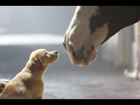 Budweiser Super Bowl Commercial 2014 -  Puppy Love ! They're killing me here!  Every year Budweiser has the best commercials during the Superbowl! :)