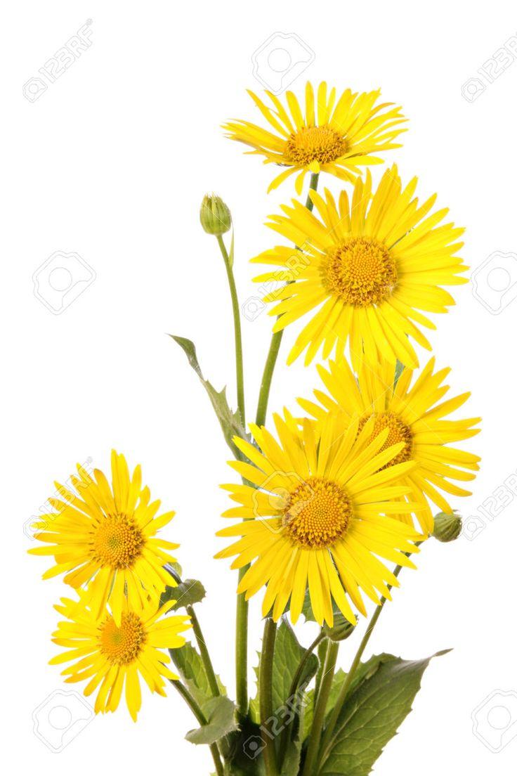 Bukiet żółtych Kwiatów Samodzielnie Na Białym Tle Zdjęcia Royalty Free, Obrazki, Obrazy Oraz Fotografia Seryjna. Image 32715496.