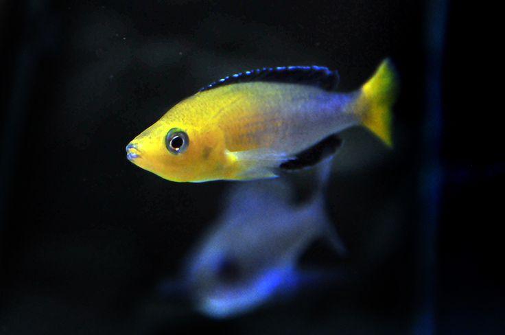 "Cyprichromis leptosoma Jumbo ""Black Bee"""