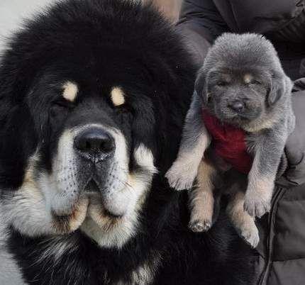 tibetan+mastiff+puppies | Top Quality Tibetan Mastiff Puppies (Algeria)