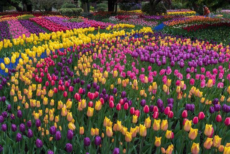 Un festival de tulipanes en Estados Unidos donde se recorren extensos campos de cultivo y jardines de bulbos en flor.
