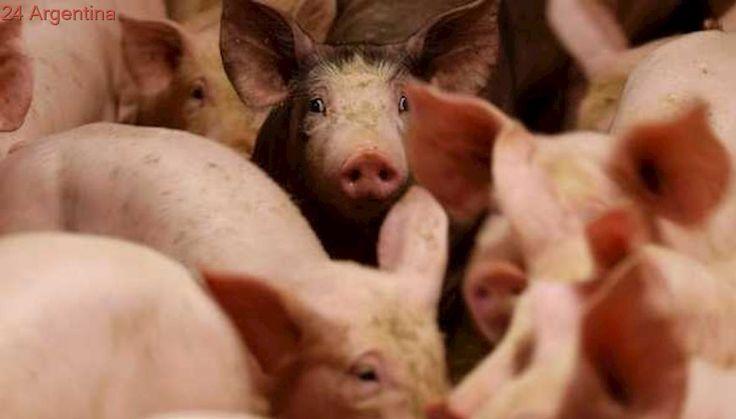 Para ganar en competitividad, aumentó el reintegro a las exportaciones de la cadena porcina
