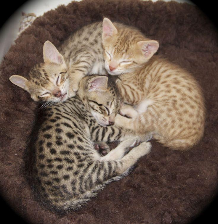 Savanna Kittens | Savannah Kittens – F5 SBT — Agato Savannah Cats