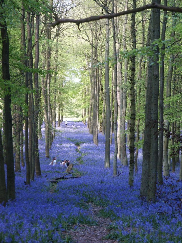 "English Bluebells--this is how I'm picturing the Bluebell Wood, where Robert arranges for some young people to discover him and Lady Serena kissing--""The Temptation of Lady Serena"" by Ella Quinn"