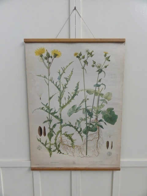 rare original vintage school Botanical poster, lithograph printed with stunning colours and details from an original watercolour painting.