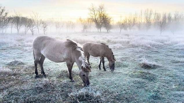Wildpferde in Berlin? Am nördlichen Stadtrand kann man die zottelige Herde beobachten. Nun haben ihre Fans einen Kalender mit Bildern der seltenen Tiere veröffentlicht.