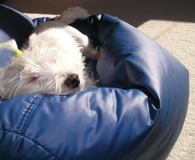 West Highland White TerrierWesties Mums, Luv Westies, Stuff, Highlands White, Westies Lov, West Highlands, Beans Bags Chairs, Animal, White Terriers