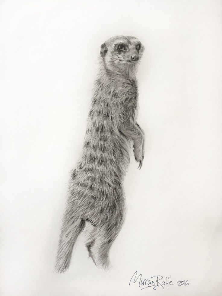 Pencil drawing of a Meerkat at Addo Elephant National Park. Quite easy to see there, they hang out in groups and sometimes Yellow Mongooses are also with them.  Size: 330mm x 450mm  Pencil on archival paper.