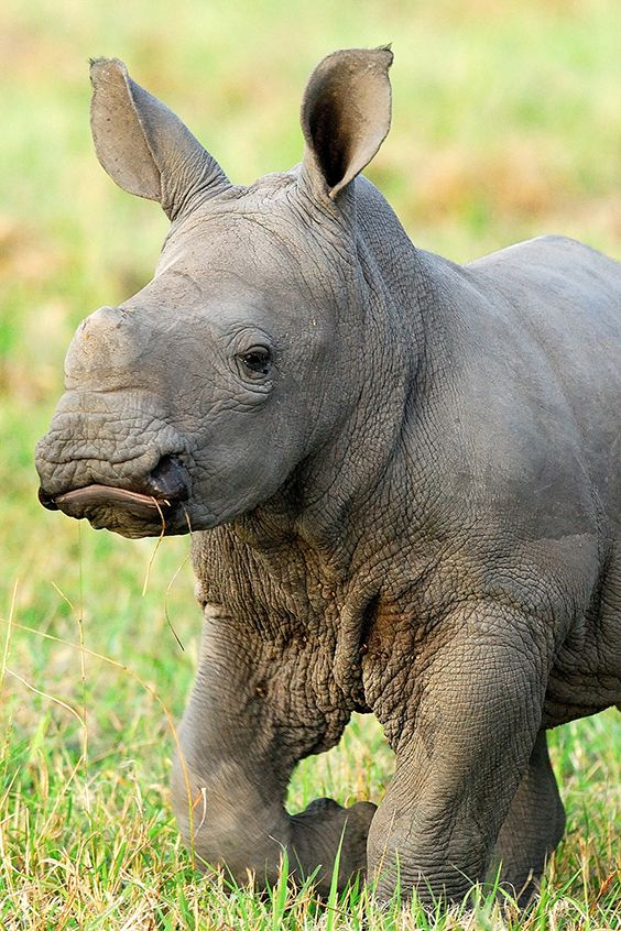 Ist dieses Nashornbaby nicht süß? <3