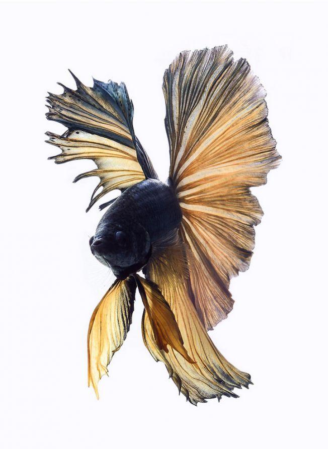"""Visarute Angkatavanich conseguiu closes incríveis para seus retratos de peixes lutadores siameses, aqui no Brasil também conhecido como """"peixe Betta"""""""