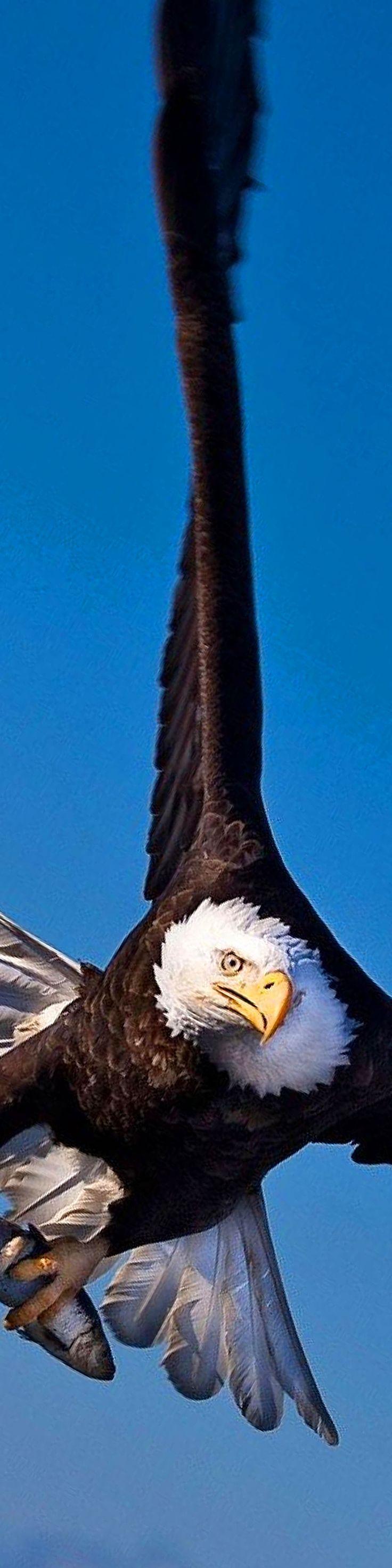 best 25 eagle in flight ideas on pinterest
