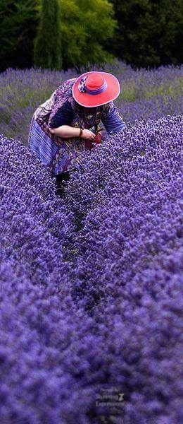 # LAVENDER HEAVEN                                                                                                                                                                                 More