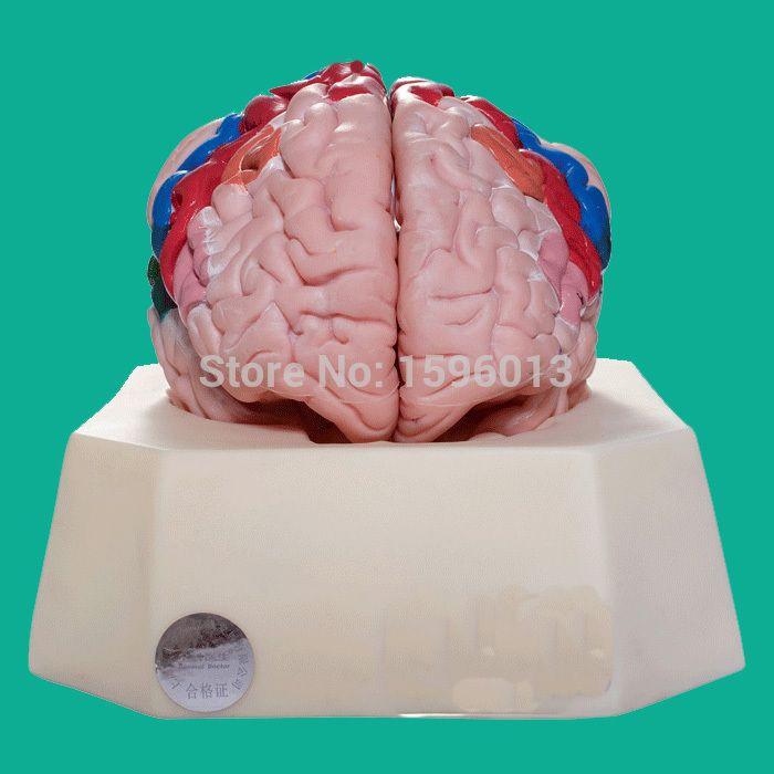Functional Zones of Cerebral Cortex model, Partition model of cerebral cortex, cerebral cortex model