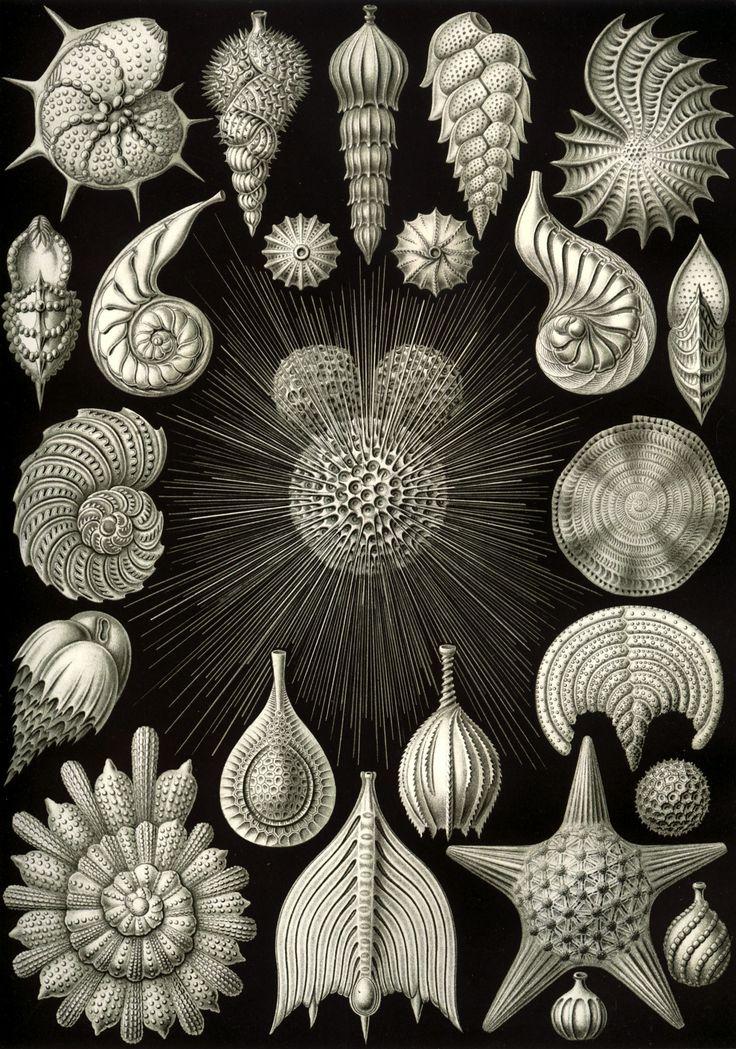 magictransistor: Ernst Haeckel, Kunstformen der Natur (Artforms of Nature), 1904.