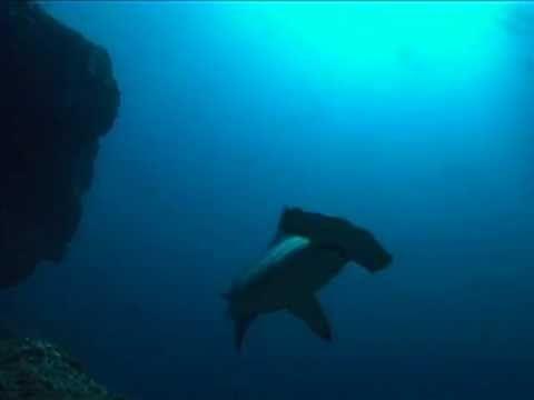 Ζώα & Ψάρια της Θάλασσας - Σφυροκαίφαλος