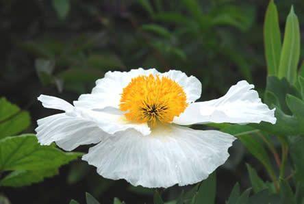 De zuiver witte bloem is wel 12 cm in doorsnede en heeft een dot goudgele meeldraden in het hart, een beetje bol, als de dooier van een gebakken ei. De bloembladeren zijn kreukelig. Gedurende een lange tijd in de zomer steelt Romneya de show met haar spectaculaire bloemen. De bloei duurt meer dan een maand en is fabelachtig mooi.   Het blad is ook mooi, het is diep ingesneden. Het is wasachtig en grijsblauw van kleur met haren langs de randen.